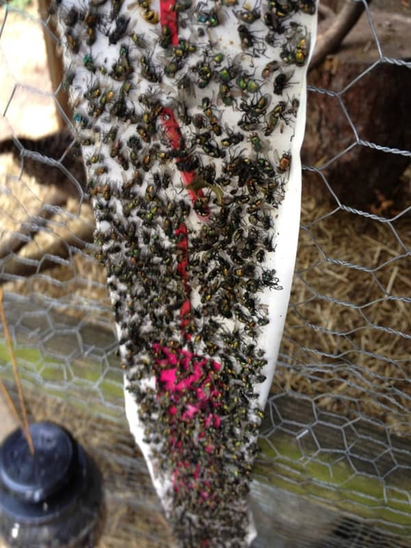 Flies Can Be A Major Problem When You Have Livestock In Your Backyard We Found
